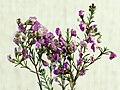 Chamelaucium uncinatum20200210 16583.jpg