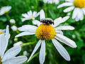 Chamomile and bug (14563456579).jpg
