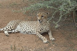 Cheetah in the shade DVIDS147321