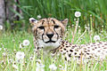 Cheetah with Dandelions.jpg