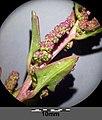 Chenopodium chenopodioides sl15.jpg