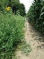 Chenopodium vulvaria sl132.jpg