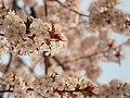 Cherry Blossom (205281841).jpeg