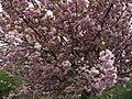 Cherry blossom - geograph.org.uk - 1281777.jpg