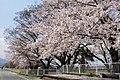 Cherry blossoms at Amabiki station ruin - panoramio.jpg