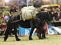 Cheval-castillonnais baté SDA2013.JPG