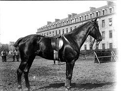 Cavalo De Sela Wikipédia A Enciclopédia Livre