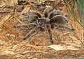 Chilean Rose Hair Tarantula 2.jpg