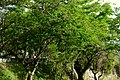 Chiminango (Pithecellobium dulce) (14702929542).jpg