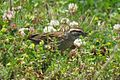 Chipping Sparrow (26921226861).jpg
