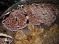 Chondrostereum purpureum a3.jpg