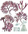 Chondrus crispus - Köhler–s Medizinal-Pflanzen-034.jpg