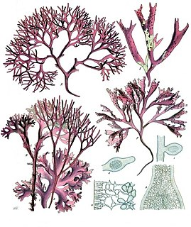 Red algae division of algae, red algae