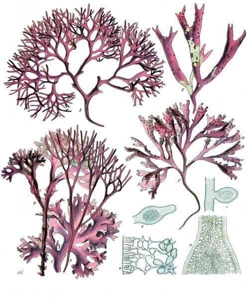 Chondrus crispus - Köhler–s Medizinal-Pflanzen-034