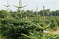 Christmas trees, ready labelled - geograph.org.uk - 981306.jpg