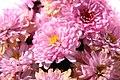 Chrysanthemum Ursula 0zz.jpg