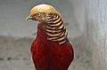 Chrysolophus pictus (male), Lahore Zoo - 05.jpg
