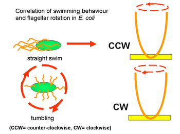Correlation of swimming behaviour and flagellar rotation