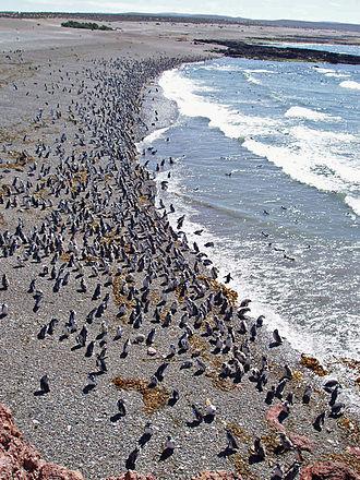 Punta Tombo - Penguins at Punta Tombo, Chubut.