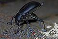 Churchyard Beetle (Blaps mucronata).jpg