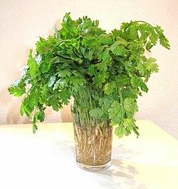 definition of coriander