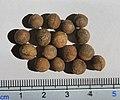 Cinnamomum camphora seeds, by Omar Hoftun.jpg