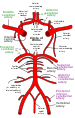 Circle of Willis en.svg