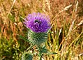 Cirsium vulgare, bull thistle and insect.jpg