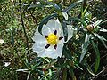 Cistus ladanifer in Almada.jpg