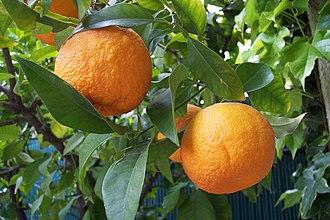 Bitter orange - Image: Citrus aurantium