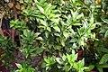 Citrus aurantium Chinotto 0zz.jpg