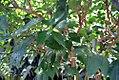 Citrus reticulata 1zz.jpg