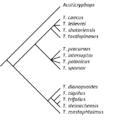 Cladogram Trimerocephalus.png