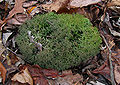 Cladonia furcata Molter.jpg