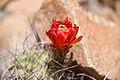 Claret-cup cactus (Echinocereus mojavensis); 3-13-2015 (16838247105).jpg