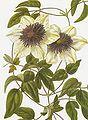 Clematis florida bicolor RHS.jpeg