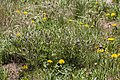 Clematis hirsutissima - Flickr - aspidoscelis.jpg
