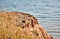 Cliff walk, Flamborough, South Bay, 08082015, jcw1967, OPE (6) (33444475081).jpg