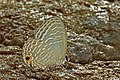 Close wing position Basking of Jamides caerulea (Druce, 1873) – Royal Cerulean WLB DSC 5854.jpg