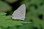 Close wing position of Catochrysops panormus Felder, 1860 – Silver Forget-me-not DSC 7991.jpg