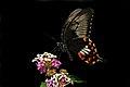 Close wing position of Female Papilio polytes romulus Cramer, 1775 – Indian Common Mormon (Stichius form).jpg