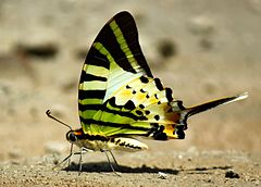 Close wing position of Graphium antiphates, Cramer, 1775 – Five-bar Swordtail WLB.jpg