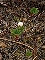Cloudberry flower - geograph.org.uk - 808277.jpg