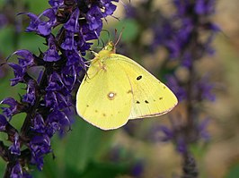 Clouded Sulphur on Salvia.jpg