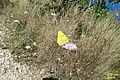 Clouded yellow (Kor) (35243153992).jpg