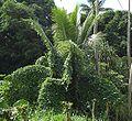 Coccinia grandis Cocos nucifera.jpg