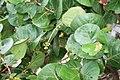 Coccoloba uvifera 4.jpg