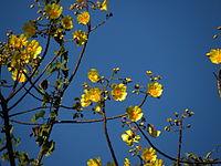 Cochlospermum vitifolium in Guanacaste, Costa Rica.JPG