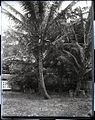 Coconut Tree (2), photograph by Brother Bertram.jpg