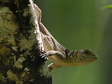 Collared Iguana, Ankarafantsika National Park, Madagascar.jpg